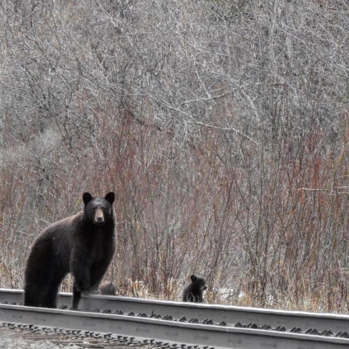 bears2018