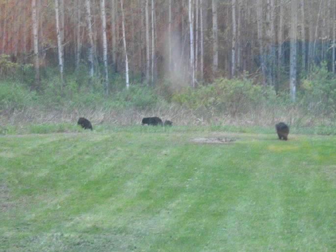 lots of bears