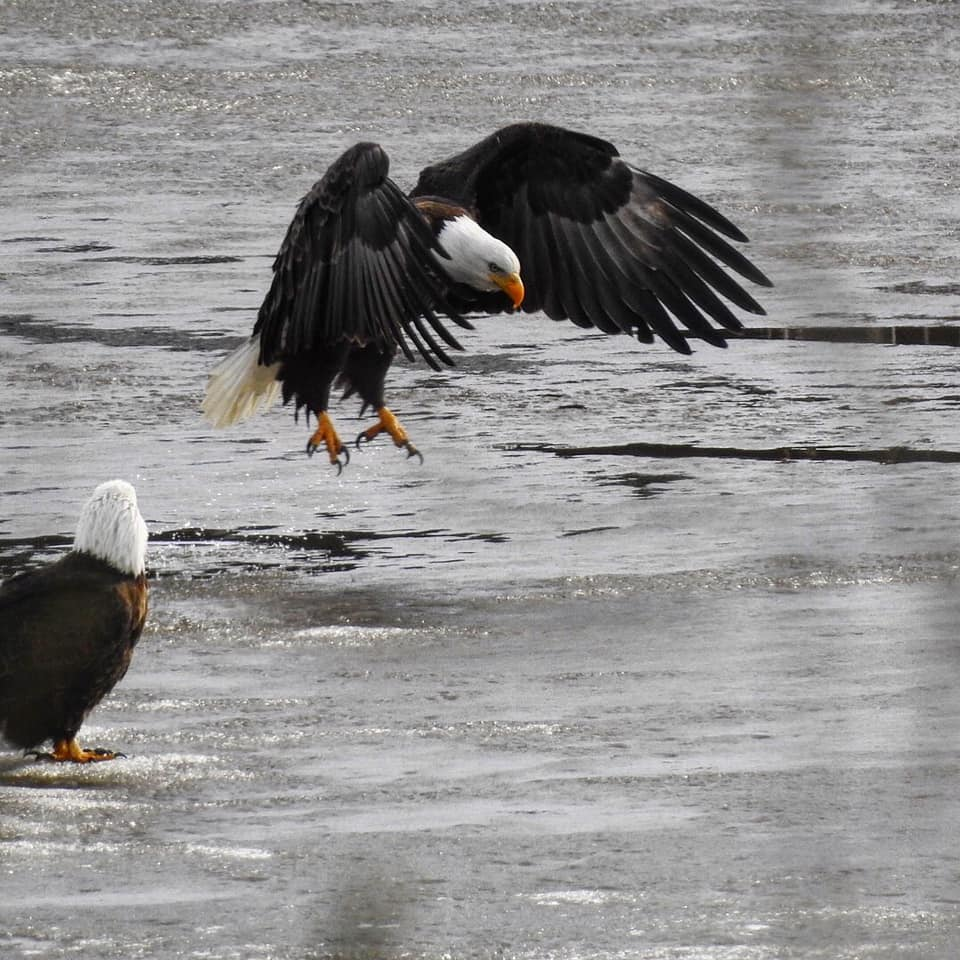 eagle on water2