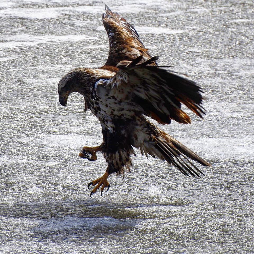 eagle on water3